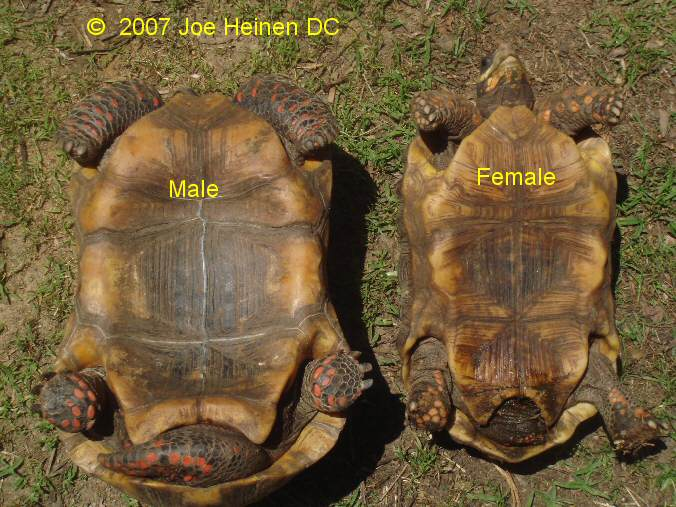 how to know male or female turtle