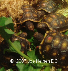 redfoot hatchlings eating