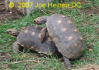 redfoot tortoise mating