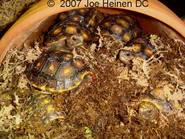 Redfoot hatchlings